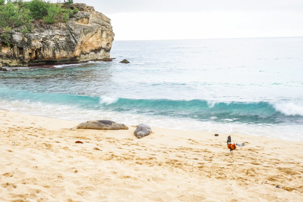 monk seals and chickens at the beach