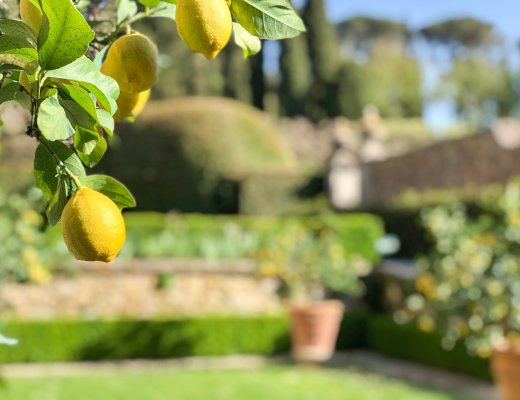 lemon trees at La Foce