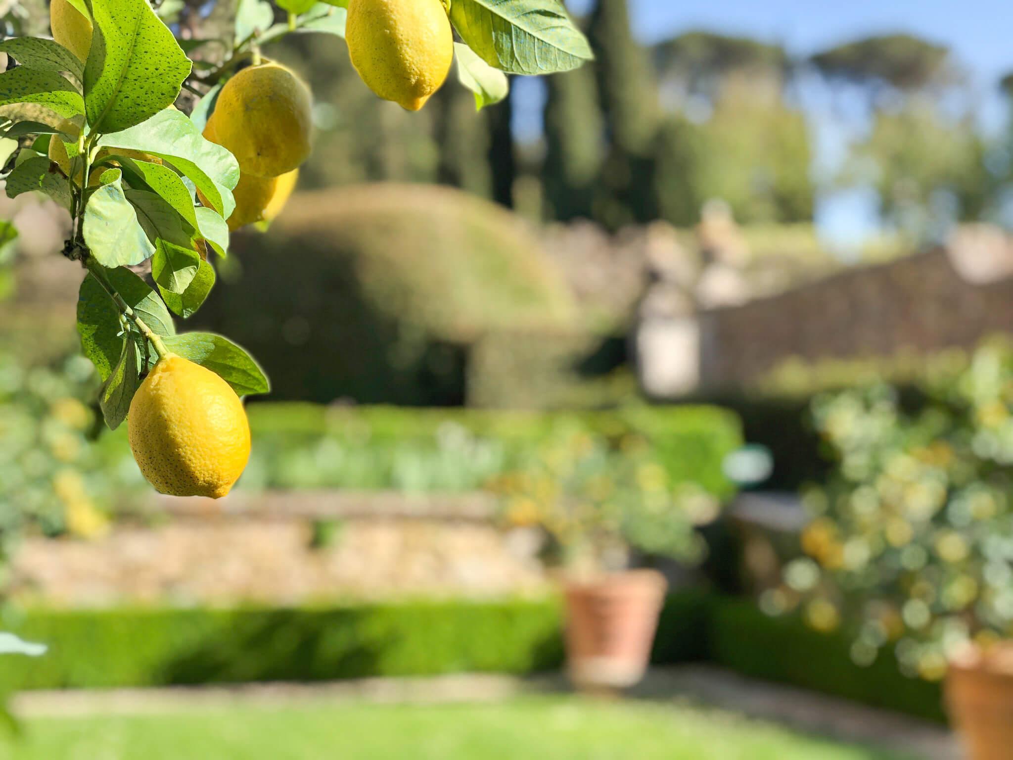 lemon trees at La Foce