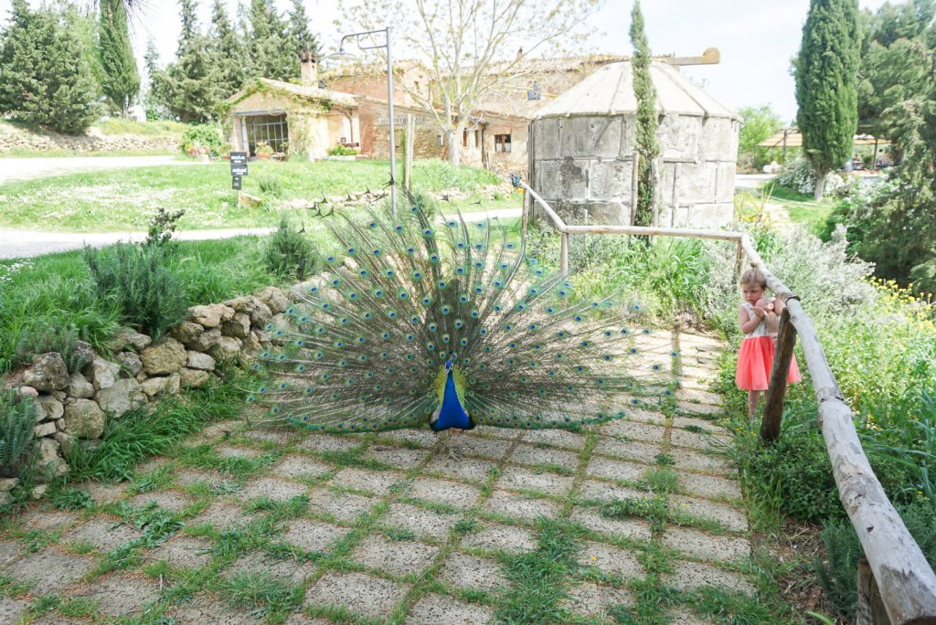 peacock at Podere Il Casale Tuscany with kids