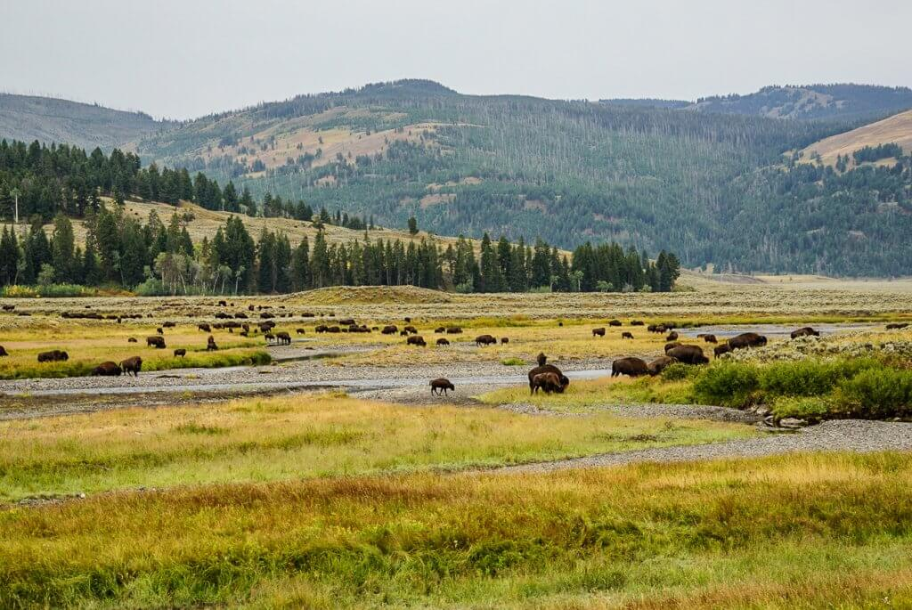 bison grazing in Lamar River Valley in Yellowstone