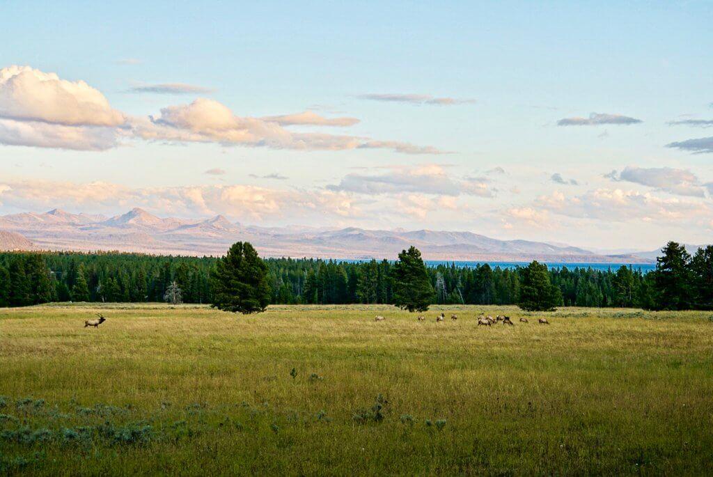 elk in the meadows in Hayden Valley Yellowstone