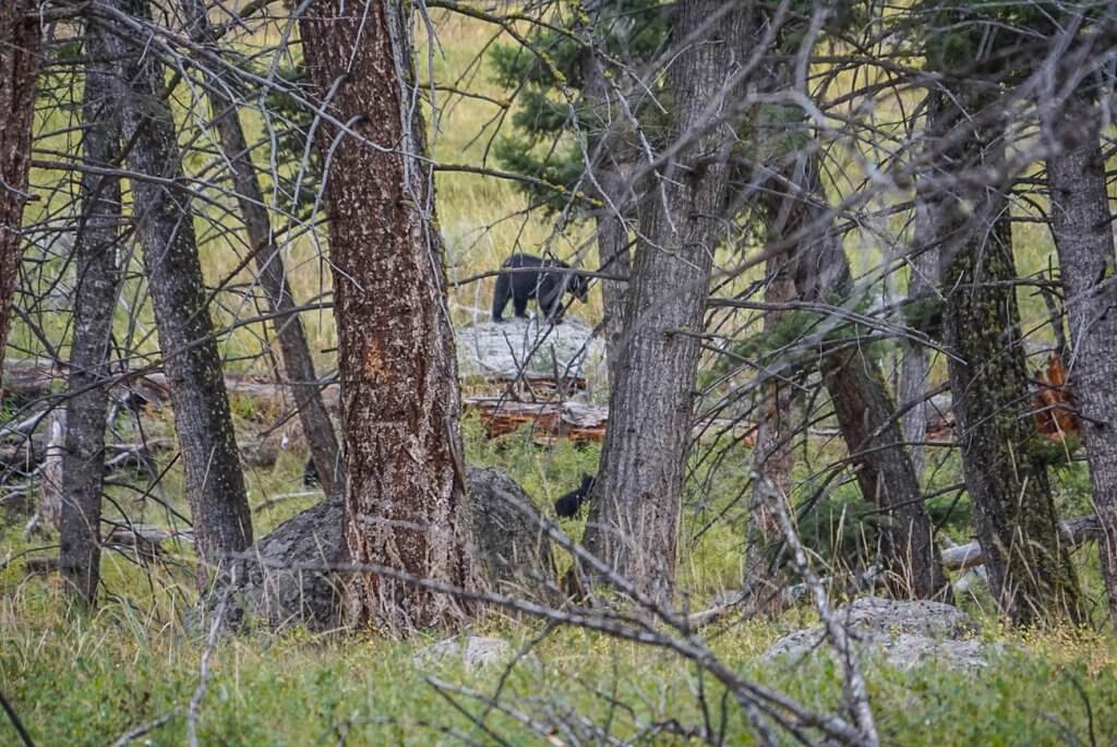 bear spotting through the trees in Lamar Valley
